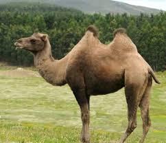 Cammello: chi è e come vive il cammello